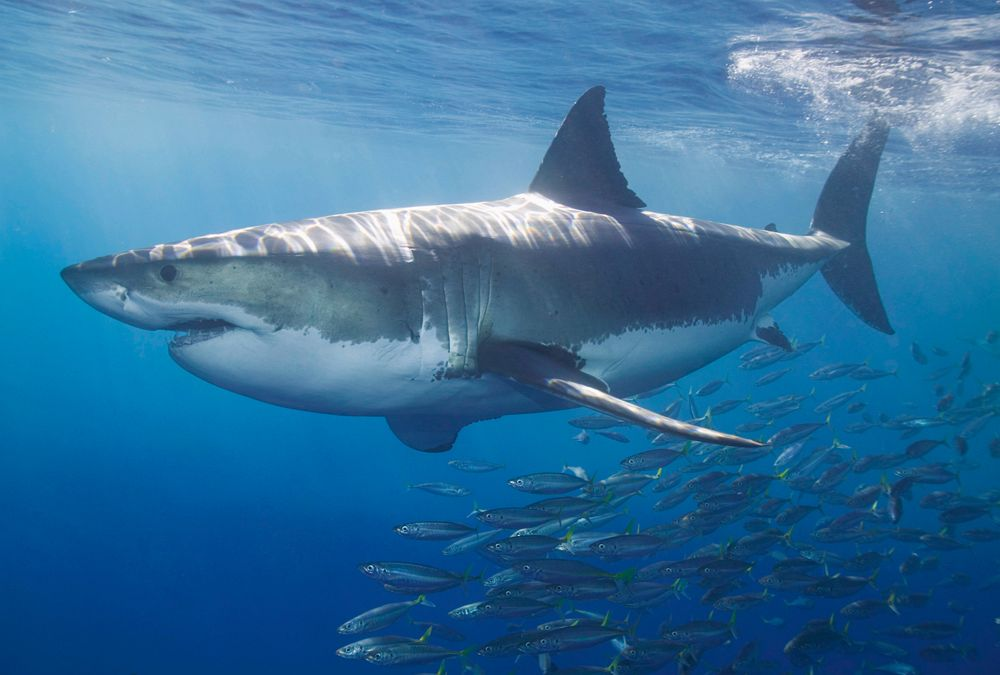 High quality wallpapers and fabrics wall mural white shark 470 097