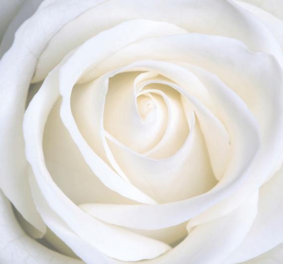 Fototapete Neue weiße Rose EV1383